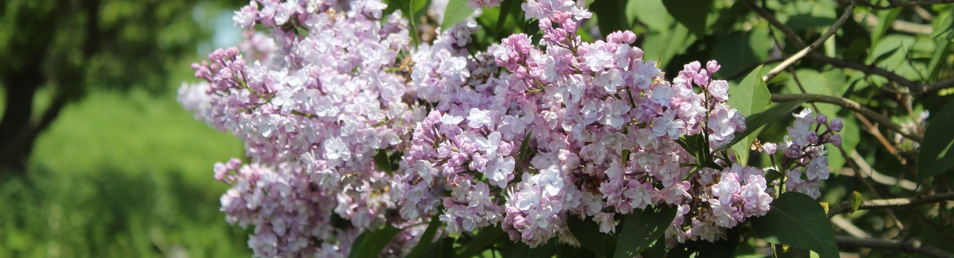 light purple flowers with green leaves